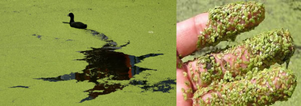 Duck Week is Commonly Mistaken for Blue-Green Algae